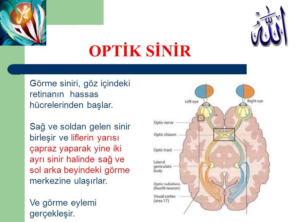OPTİK SİNİR Görme siniri, göz içindeki retinanın hassas
