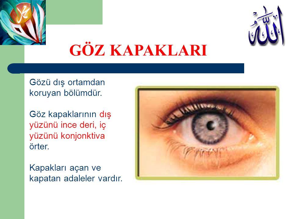GÖZ KAPAKLARI Gözü dış ortamdan koruyan bölümdür. Göz kapaklarının dış
