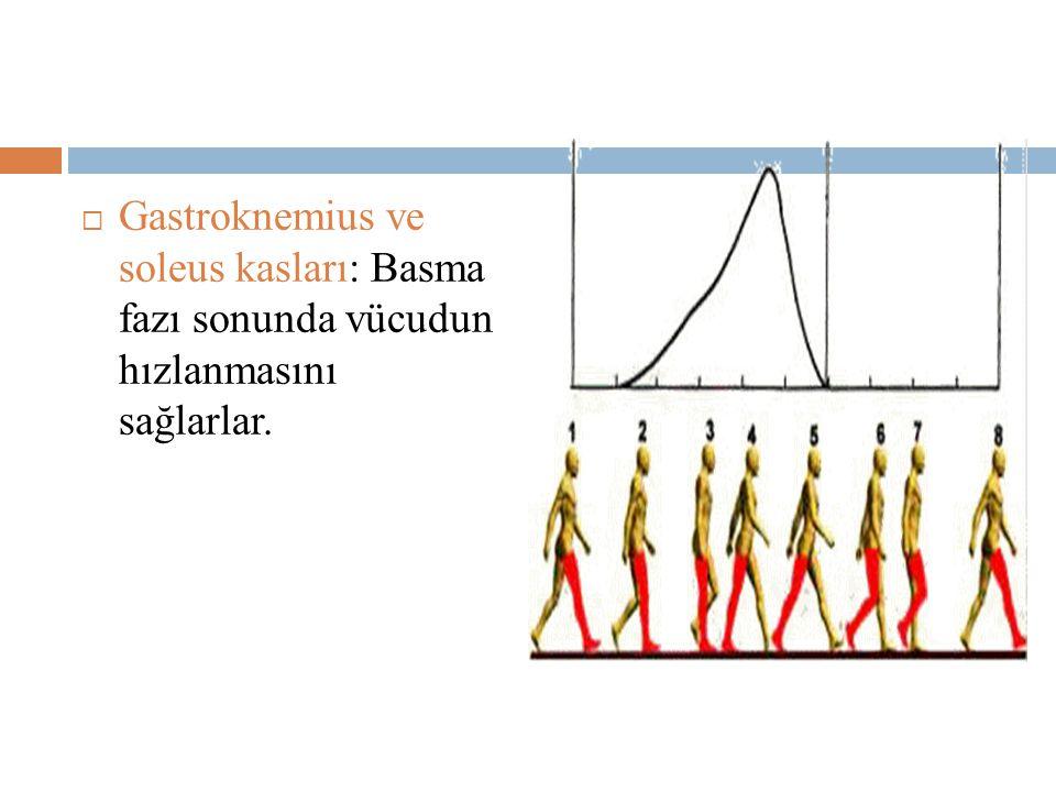 Gastroknemius ve soleus kasları: Basma fazı sonunda vücudun hızlanmasını sağlarlar.