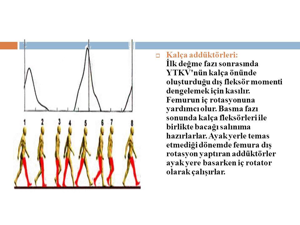 Kalça addüktörleri: İlk değme fazı sonrasında YTKV nün kalça önünde oluşturduğu dış fleksör momenti dengelemek için kasılır.