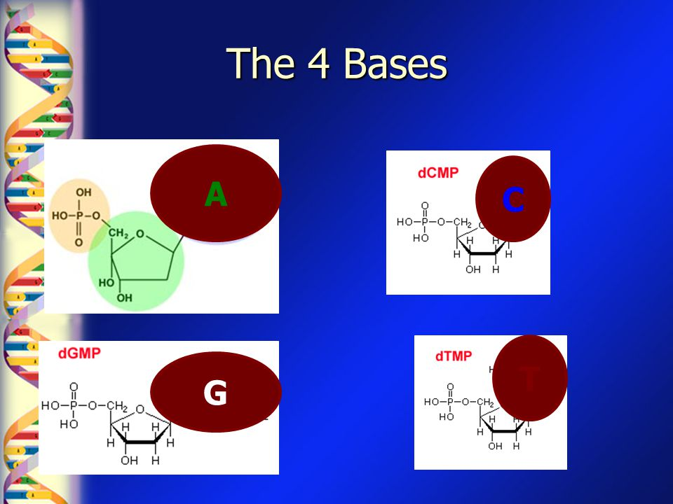 The 4 Bases A C T G
