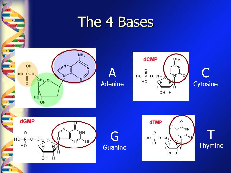 The 4 Bases A Adenine C Cytosine T Thymine G Guanine