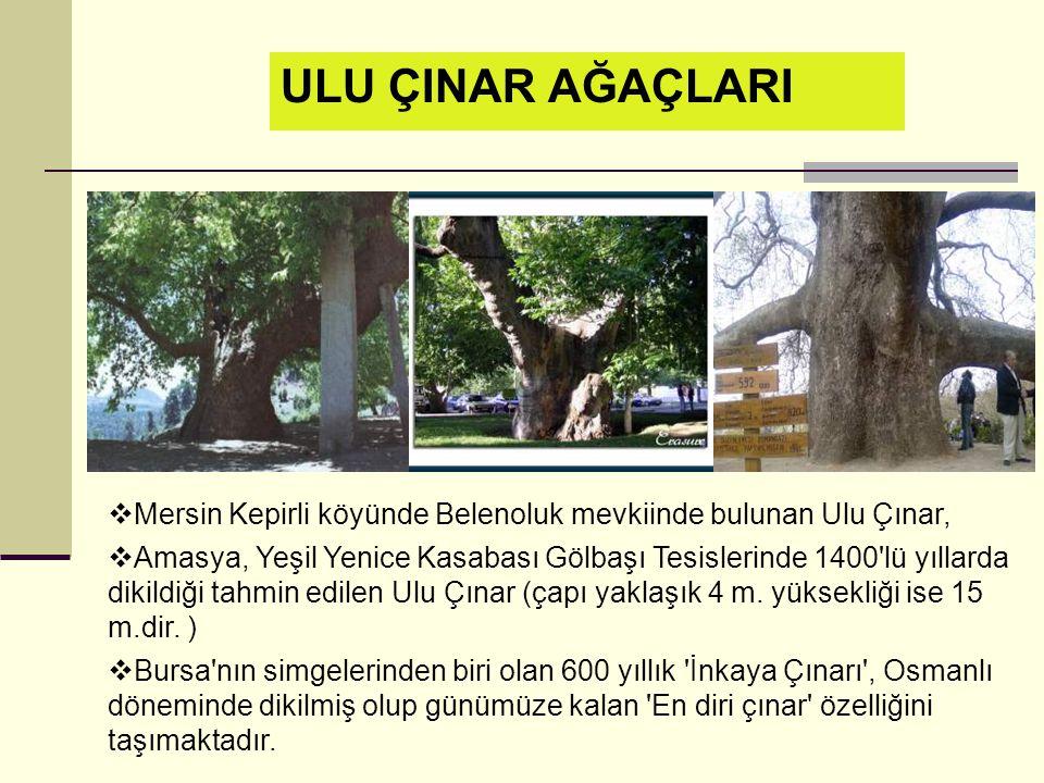 ULU ÇINAR AĞAÇLARI Mersin Kepirli köyünde Belenoluk mevkiinde bulunan Ulu Çınar,