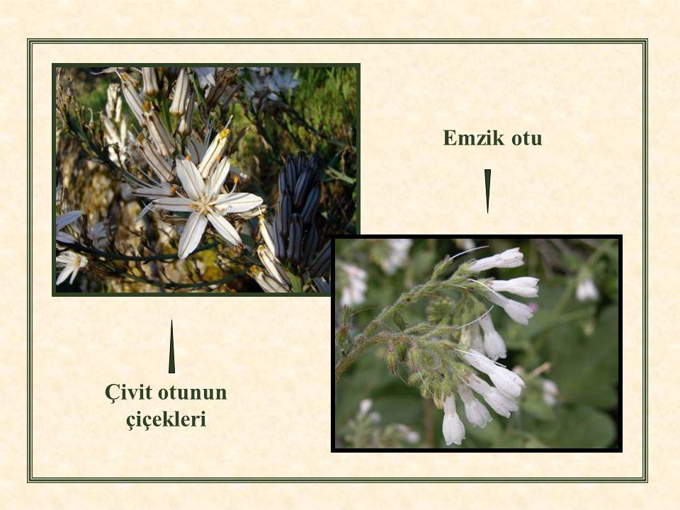 Çivit otunun çiçekleri