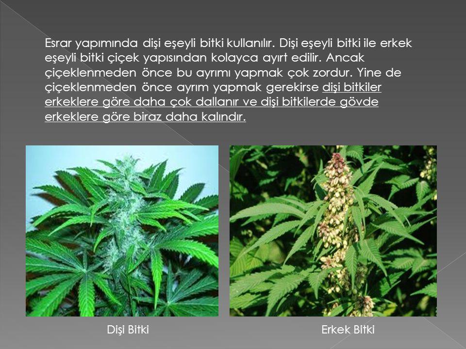 Esrar yapımında dişi eşeyli bitki kullanılır