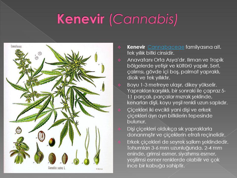 Kenevir (Cannabis) Kenevir Cannabaceae familyasına ait, tek yıllık bitki cinsidir.