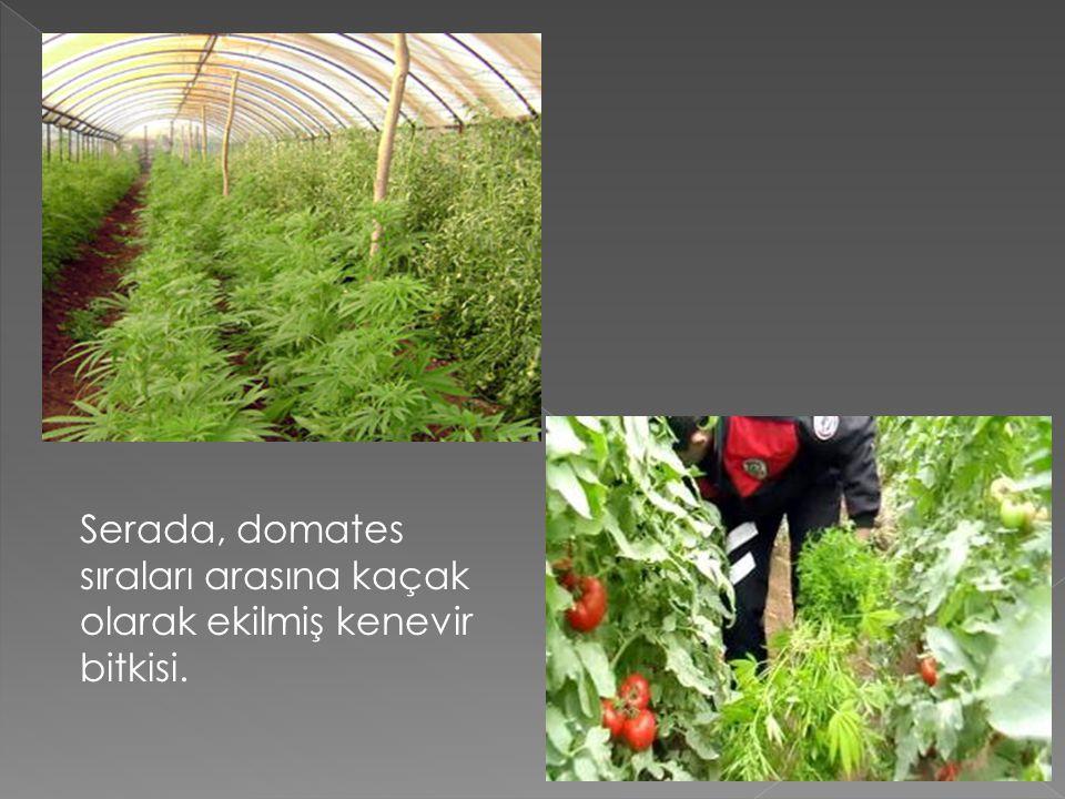 Serada, domates sıraları arasına kaçak olarak ekilmiş kenevir bitkisi.
