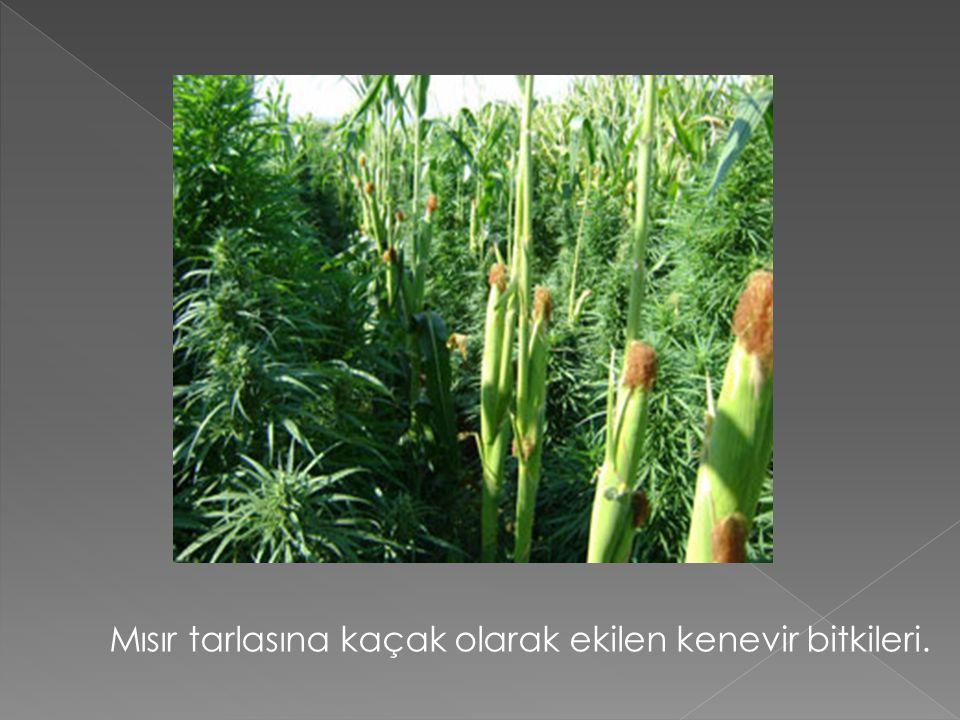 Mısır tarlasına kaçak olarak ekilen kenevir bitkileri.