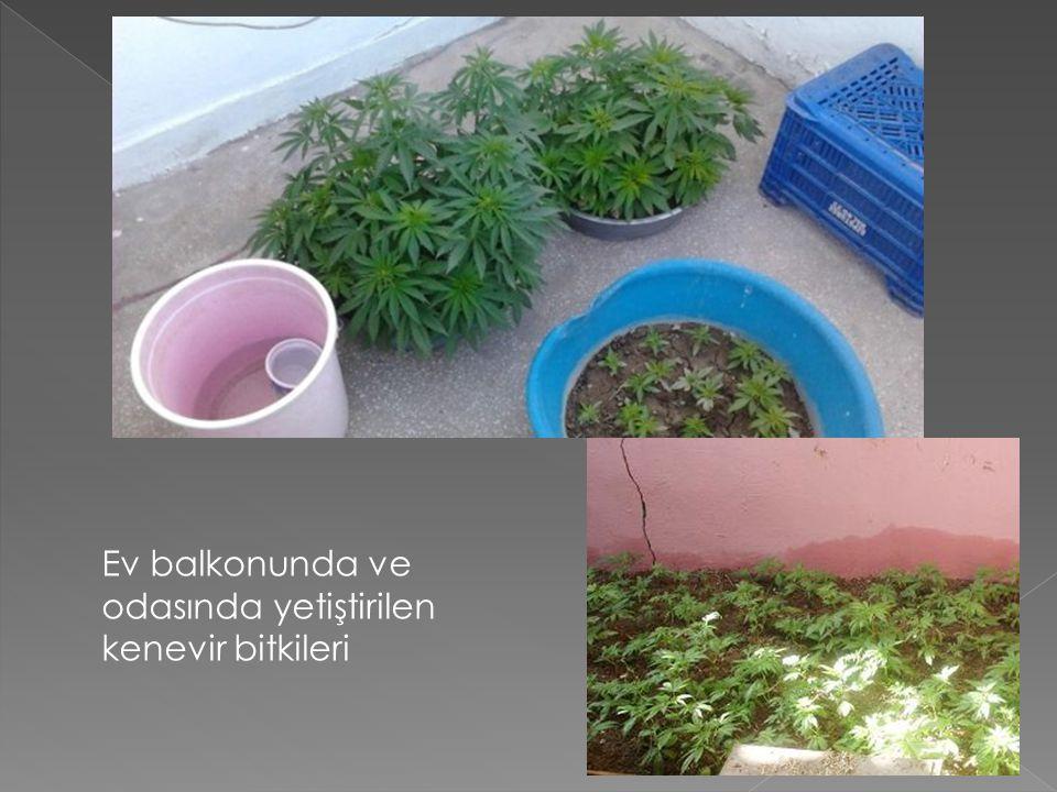 Ev balkonunda ve odasında yetiştirilen kenevir bitkileri