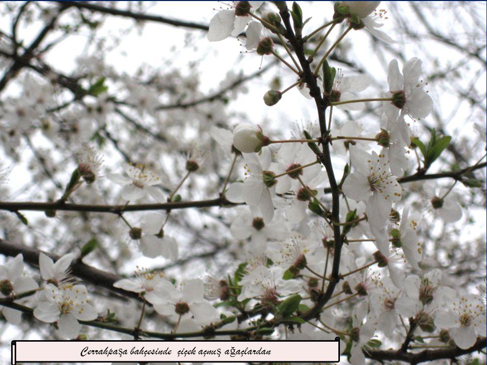 Cerrahpaşa bahçesinde çiçek açmış ağaçlardan