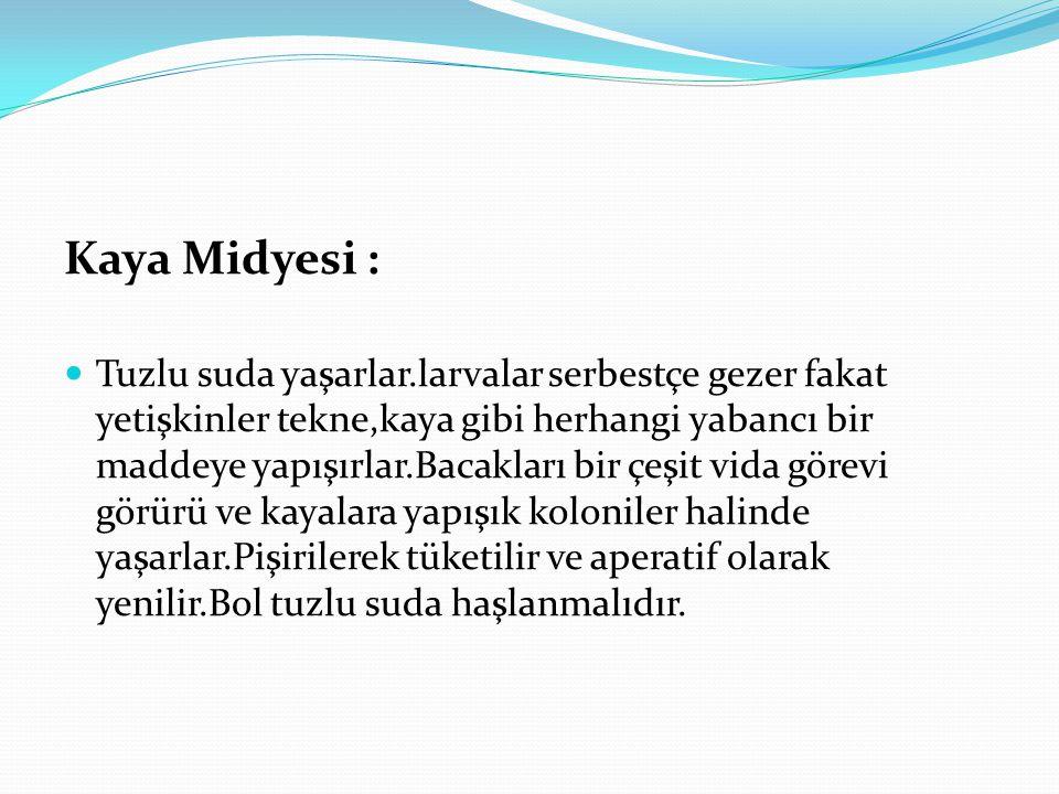 Kaya Midyesi :