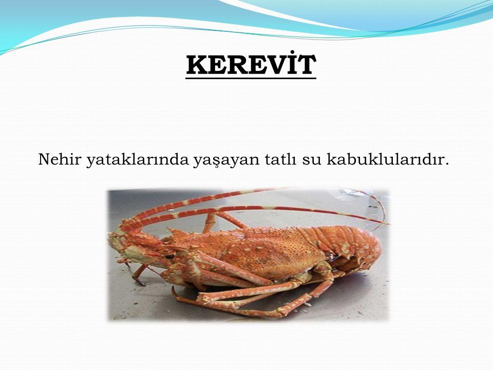 KEREVİT Nehir yataklarında yaşayan tatlı su kabuklularıdır.
