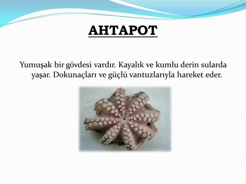 AHTAPOT Yumuşak bir gövdesi vardır. Kayalık ve kumlu derin sularda yaşar.