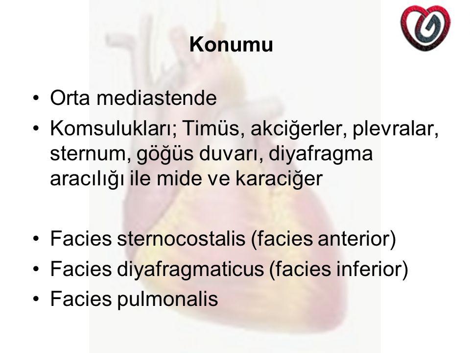 Konumu Orta mediastende. Komsulukları; Timüs, akciğerler, plevralar, sternum, göğüs duvarı, diyafragma aracılığı ile mide ve karaciğer.