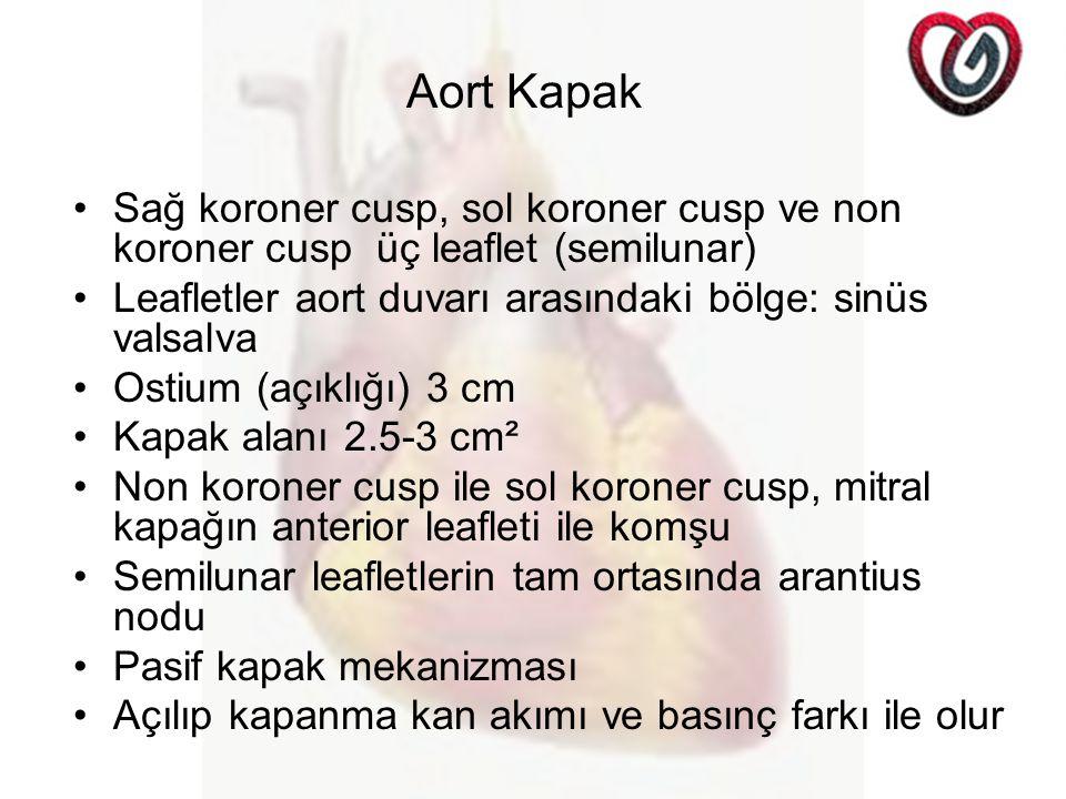 Aort Kapak Sağ koroner cusp, sol koroner cusp ve non koroner cusp üç leaflet (semilunar) Leafletler aort duvarı arasındaki bölge: sinüs valsalva.