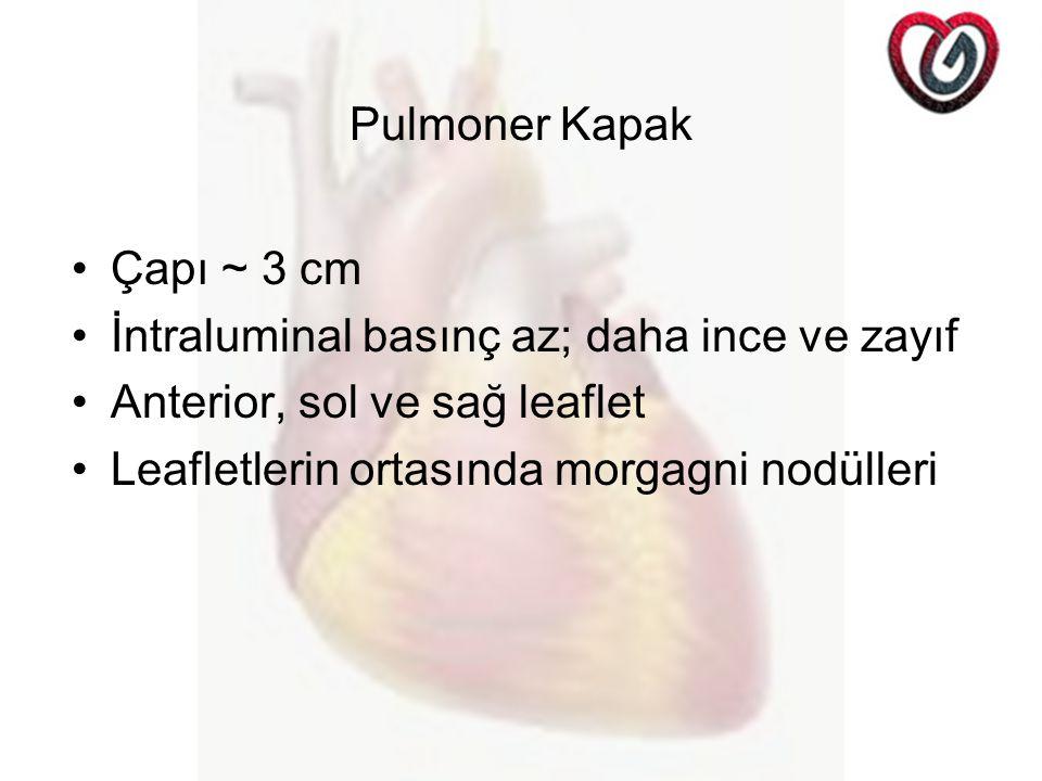 Pulmoner Kapak Çapı ~ 3 cm. İntraluminal basınç az; daha ince ve zayıf. Anterior, sol ve sağ leaflet.