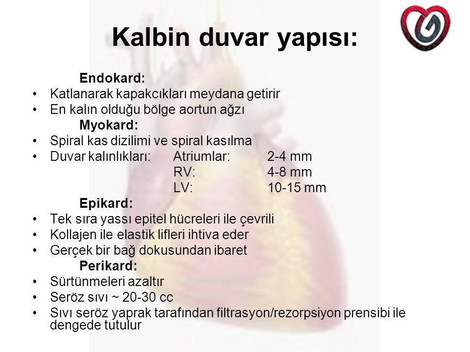 Kalbin duvar yapısı: Endokard: Katlanarak kapakcıkları meydana getirir