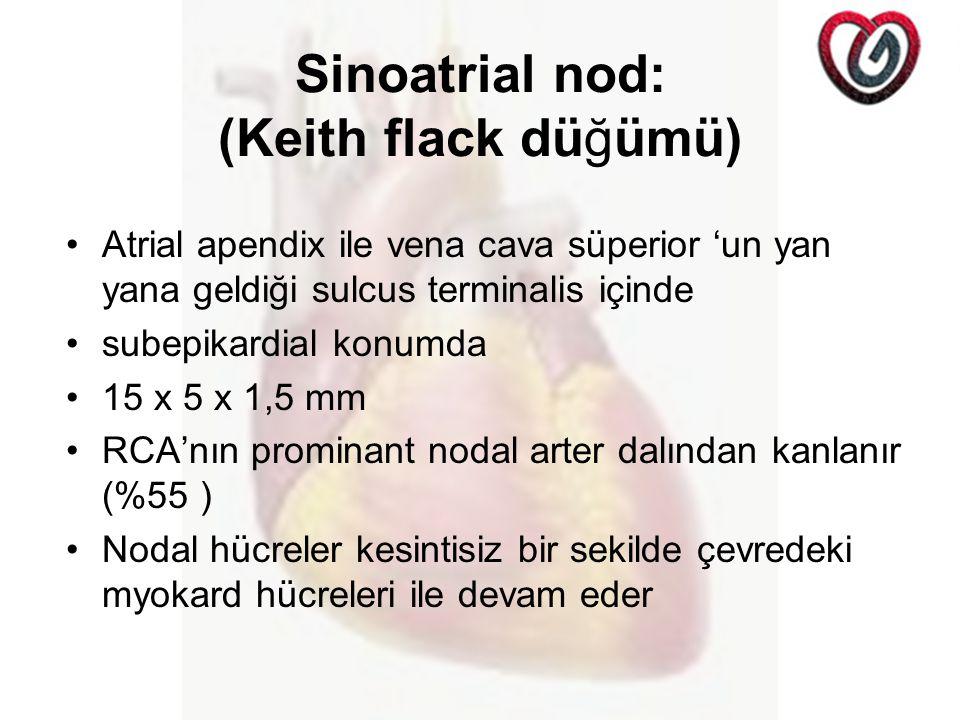 Sinoatrial nod: (Keith flack düğümü)