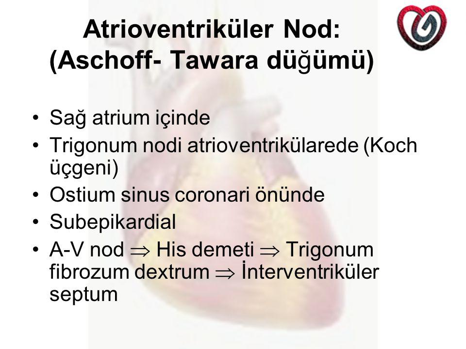 Atrioventriküler Nod: (Aschoff- Tawara düğümü)