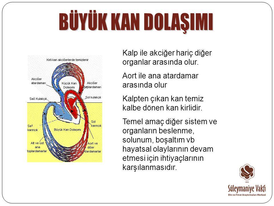 BÜYÜK KAN DOLAŞIMI Kalp ile akciğer hariç diğer organlar arasında olur. Aort ile ana atardamar arasında olur.