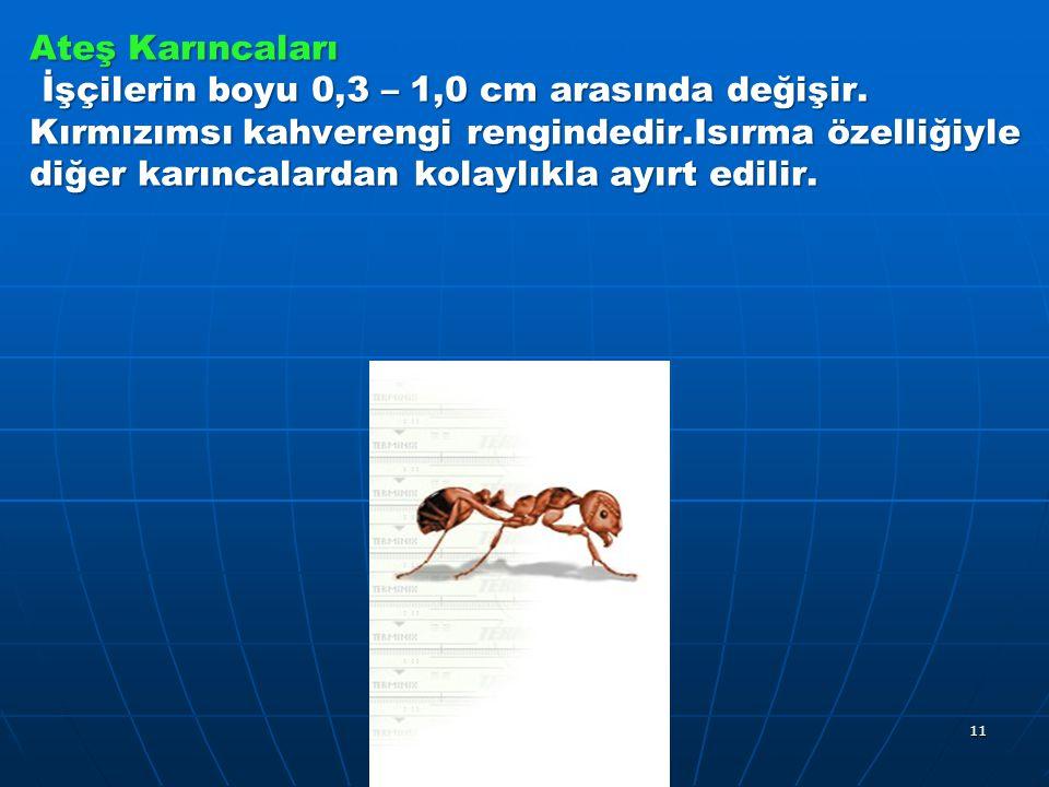 Ateş Karıncaları İşçilerin boyu 0,3 – 1,0 cm arasında değişir