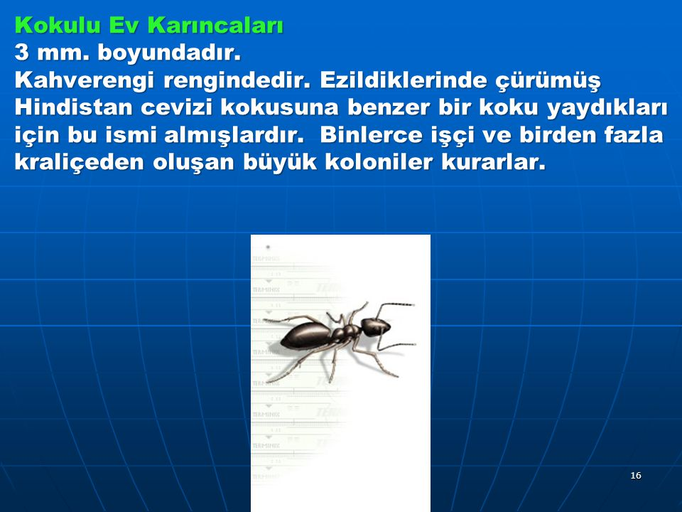 Kokulu Ev Karıncaları 3 mm. boyundadır. Kahverengi rengindedir