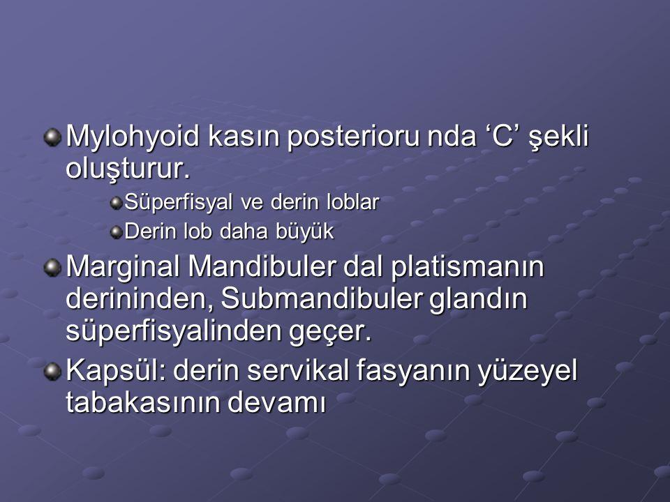 Mylohyoid kasın posterioru nda 'C' şekli oluşturur.
