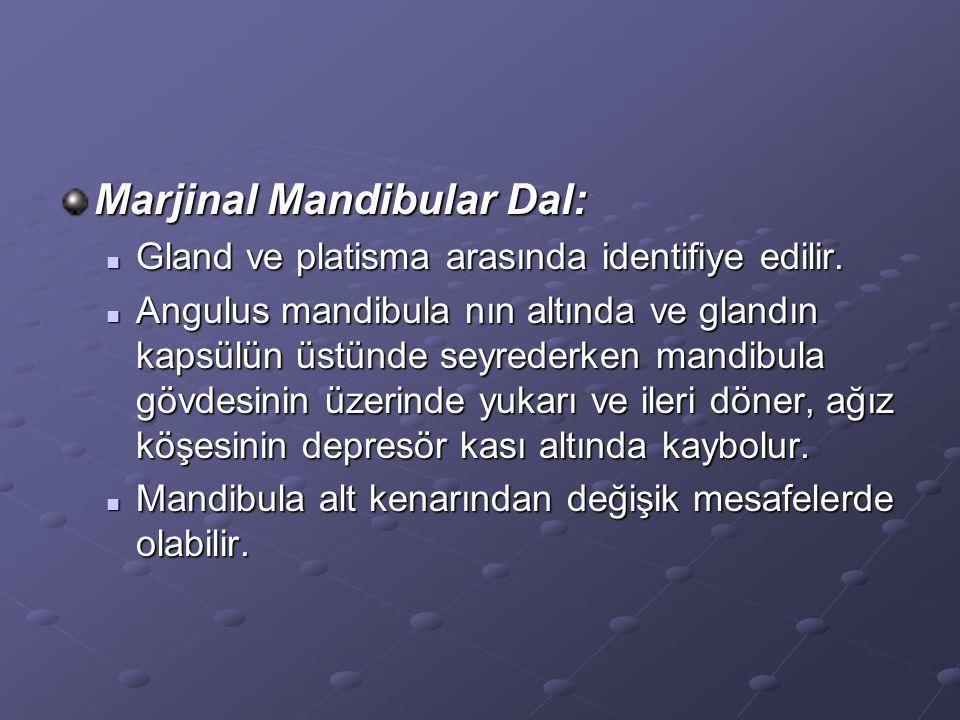 Marjinal Mandibular Dal: