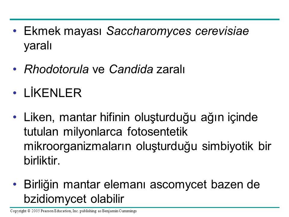 Ekmek mayası Saccharomyces cerevisiae yaralı