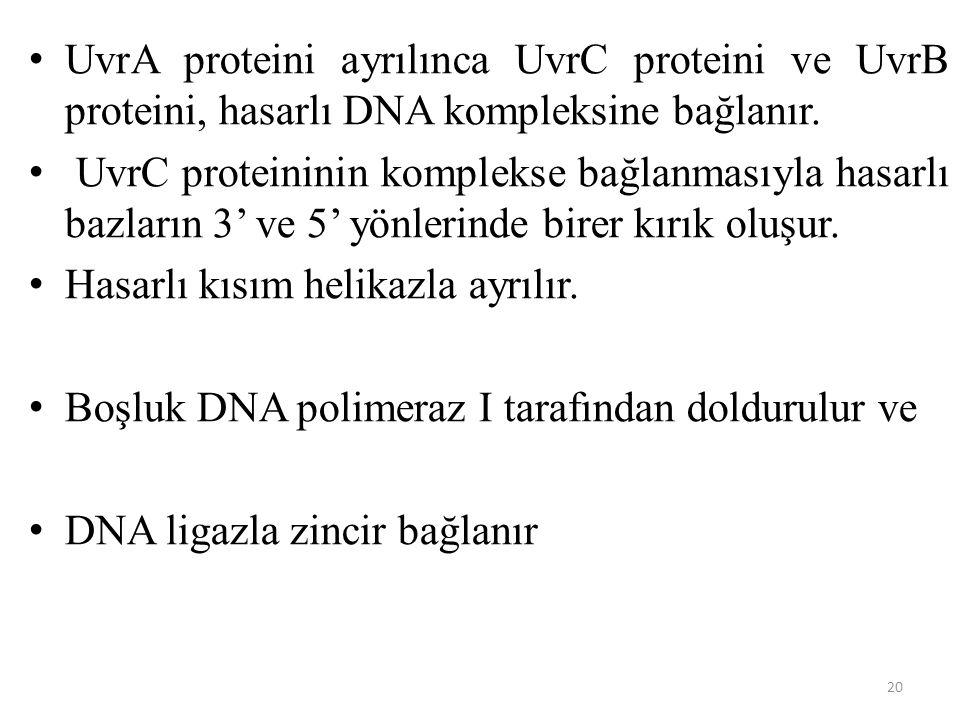 UvrA proteini ayrılınca UvrC proteini ve UvrB proteini, hasarlı DNA kompleksine bağlanır.
