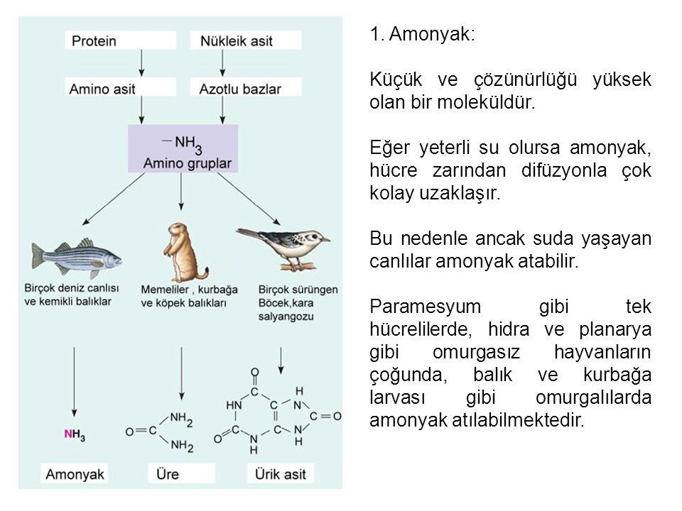 1. Amonyak: Küçük ve çözünürlüğü yüksek olan bir moleküldür. Eğer yeterli su olursa amonyak, hücre zarından difüzyonla çok kolay uzaklaşır.