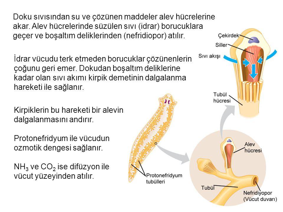 Doku sıvısından su ve çözünen maddeler alev hücrelerine akar