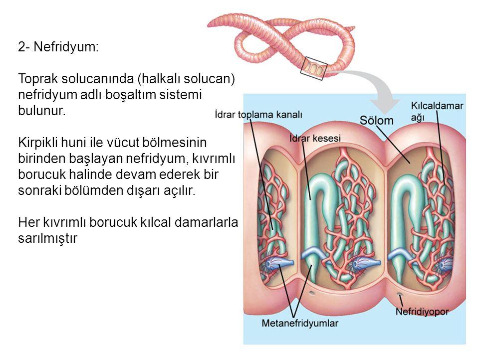 2- Nefridyum: Toprak solucanında (halkalı solucan) nefridyum adlı boşaltım sistemi bulunur.