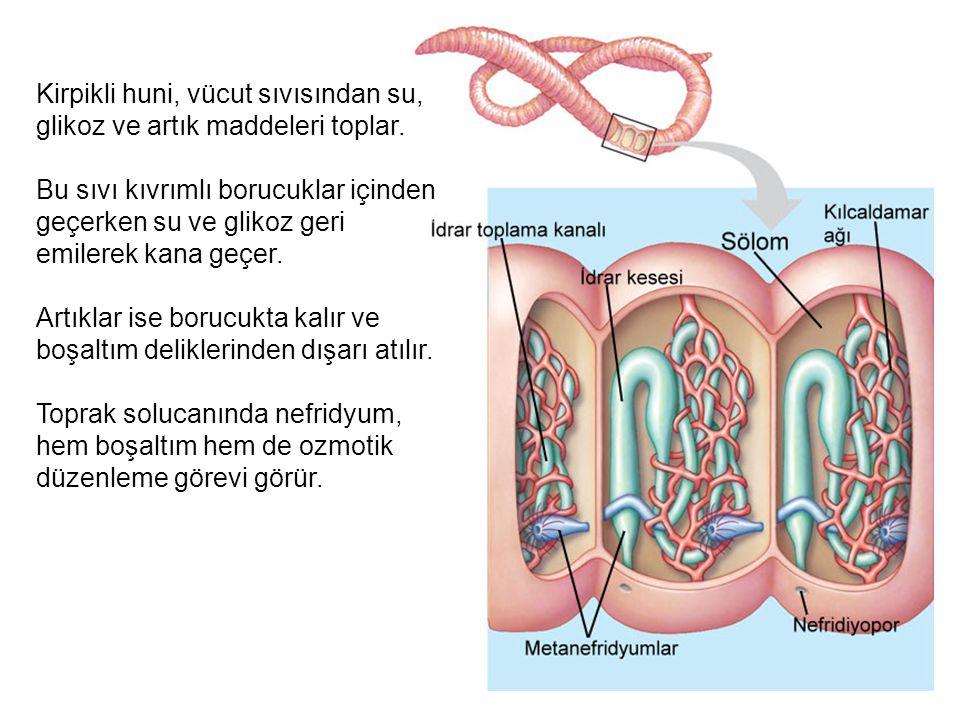 Kirpikli huni, vücut sıvısından su, glikoz ve artık maddeleri toplar.