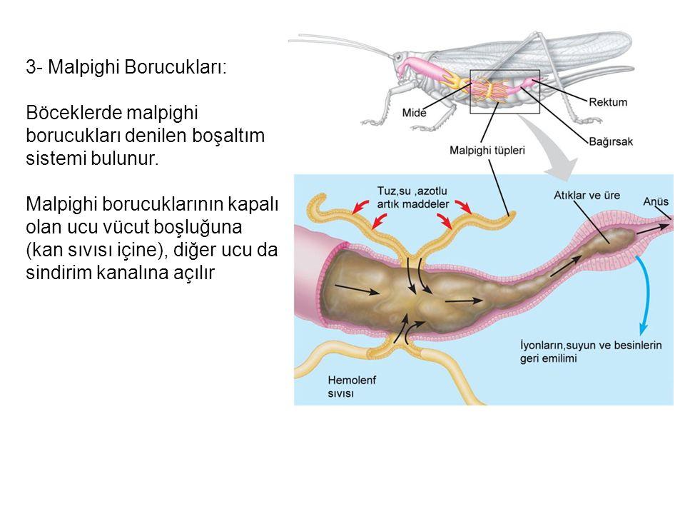 3- Malpighi Borucukları: