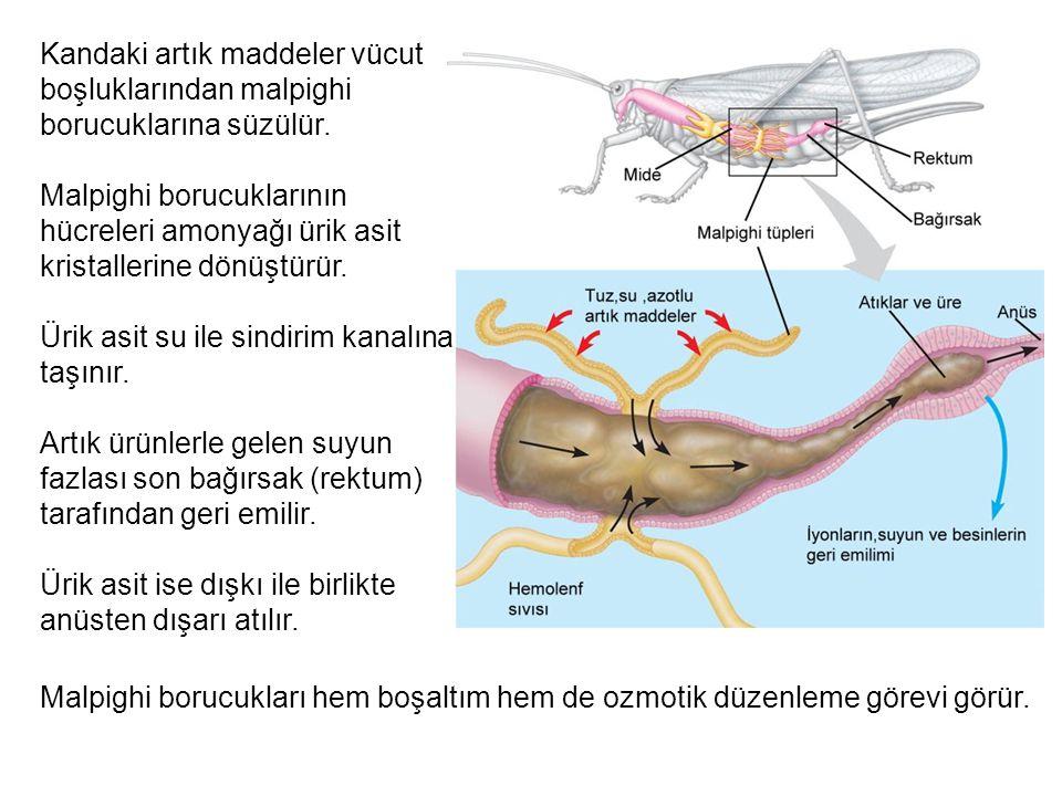 Kandaki artık maddeler vücut boşluklarından malpighi borucuklarına süzülür.