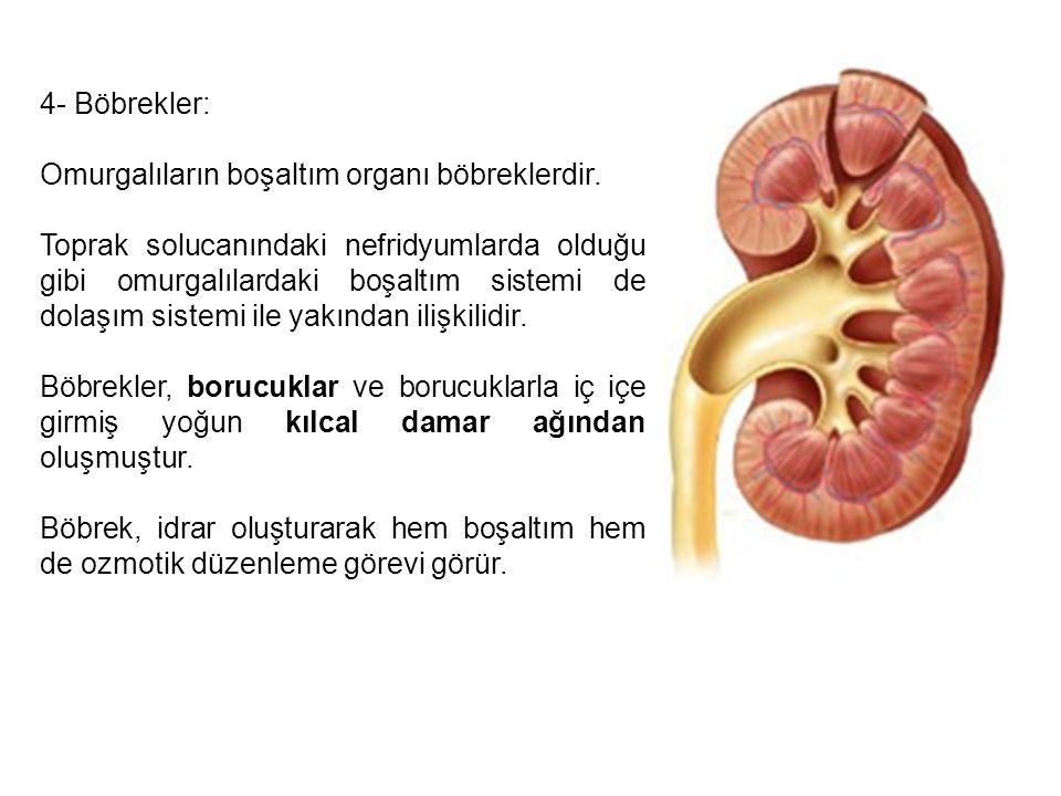4- Böbrekler: Omurgalıların boşaltım organı böbreklerdir.