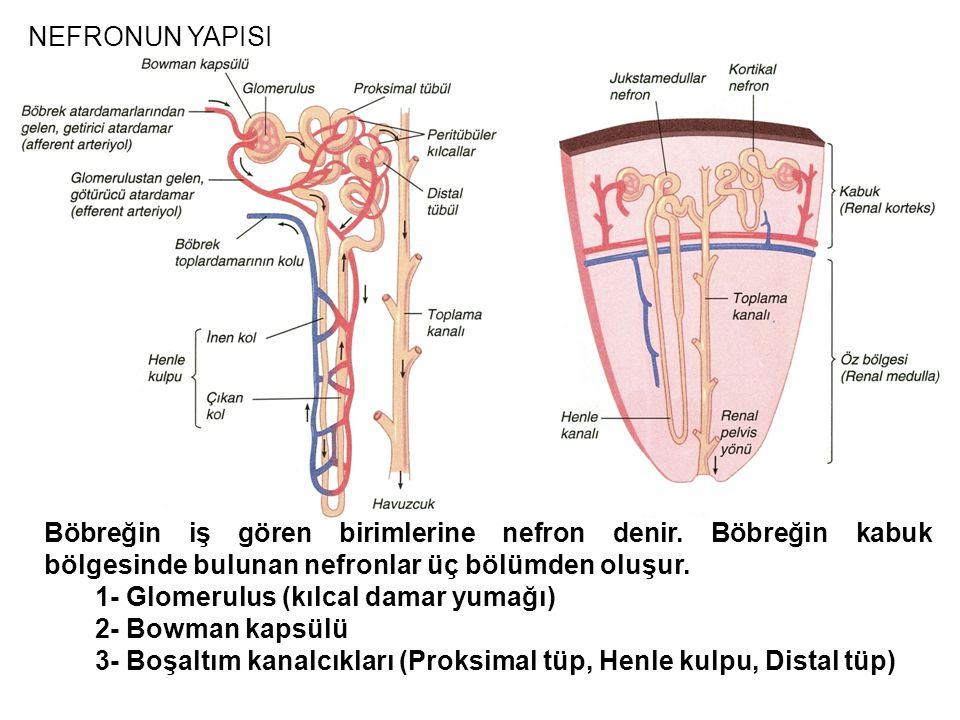 NEFRONUN YAPISI Böbreğin iş gören birimlerine nefron denir. Böbreğin kabuk bölgesinde bulunan nefronlar üç bölümden oluşur.