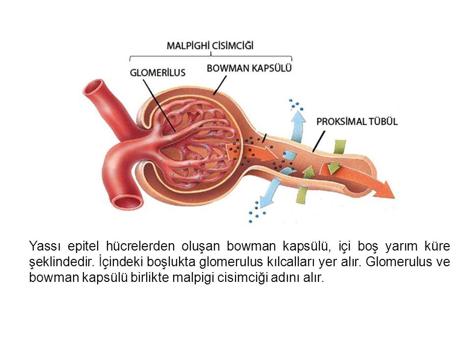 Yassı epitel hücrelerden oluşan bowman kapsülü, içi boş yarım küre şeklindedir.