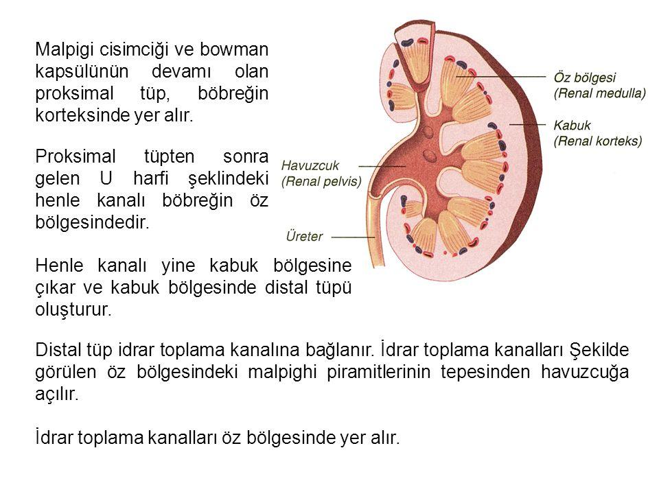 Malpigi cisimciği ve bowman kapsülünün devamı olan proksimal tüp, böbreğin korteksinde yer alır.