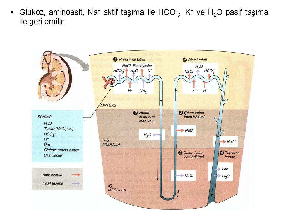 Glukoz, aminoasit, Na+ aktif taşıma ile HCO-3, K+ ve H2O pasif taşıma ile geri emilir.
