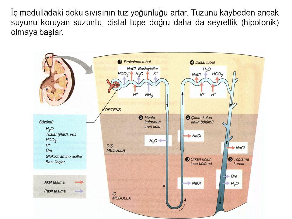 İç medulladaki doku sıvısının tuz yoğunluğu artar