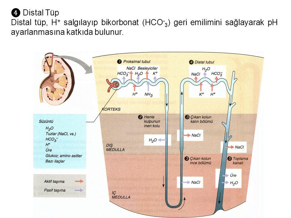 ❹ Distal Tüp Distal tüp, H+ salgılayıp bikorbonat (HCO-3) geri emilimini sağlayarak pH ayarlanmasına katkıda bulunur.