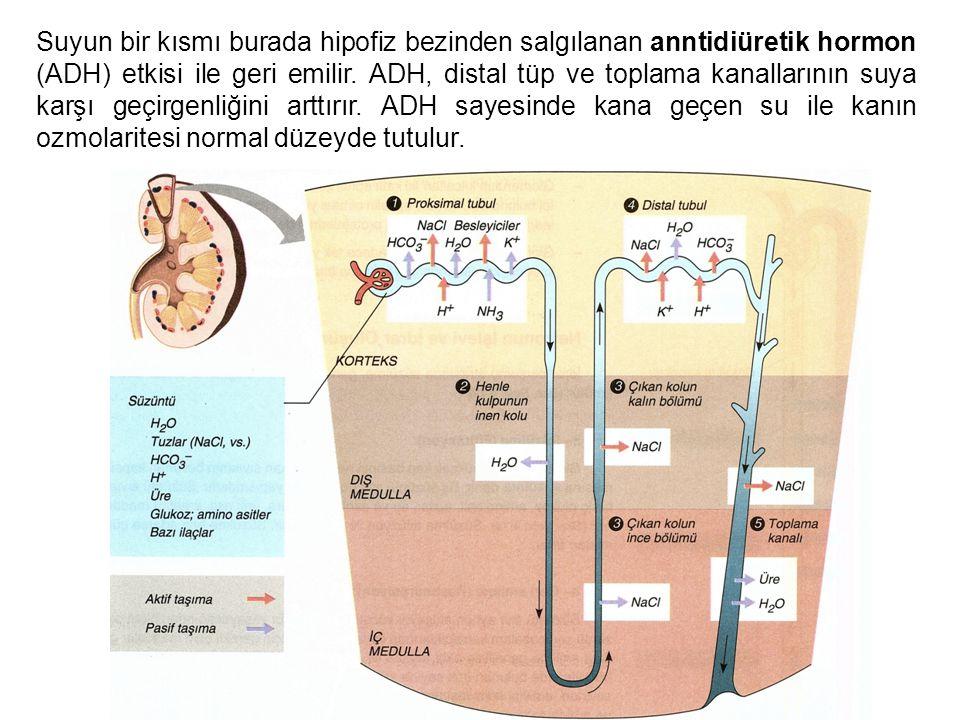 Suyun bir kısmı burada hipofiz bezinden salgılanan anntidiüretik hormon (ADH) etkisi ile geri emilir.