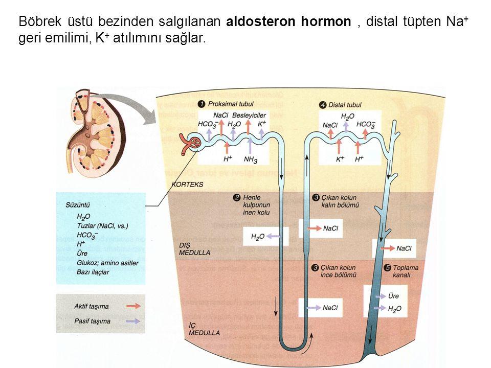 Böbrek üstü bezinden salgılanan aldosteron hormon , distal tüpten Na+ geri emilimi, K+ atılımını sağlar.