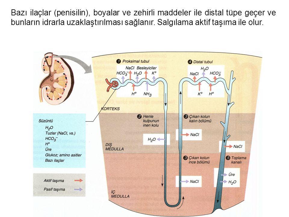 Bazı ilaçlar (penisilin), boyalar ve zehirli maddeler ile distal tüpe geçer ve bunların idrarla uzaklaştırılması sağlanır.