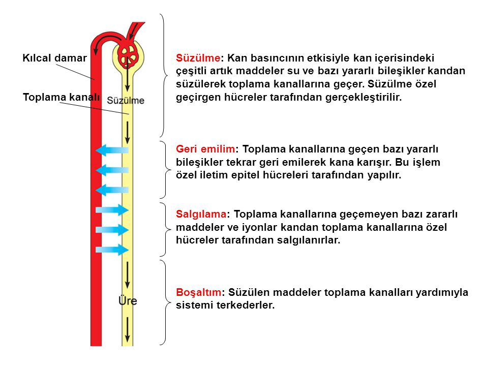 Kılcal damar Toplama kanalı. Süzülme: Kan basıncının etkisiyle kan içerisindeki. çeşitli artık maddeler su ve bazı yararlı bileşikler kandan.