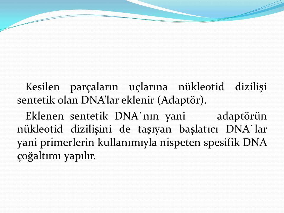 Kesilen parçaların uçlarına nükleotid dizilişi sentetik olan DNA'lar eklenir (Adaptör).