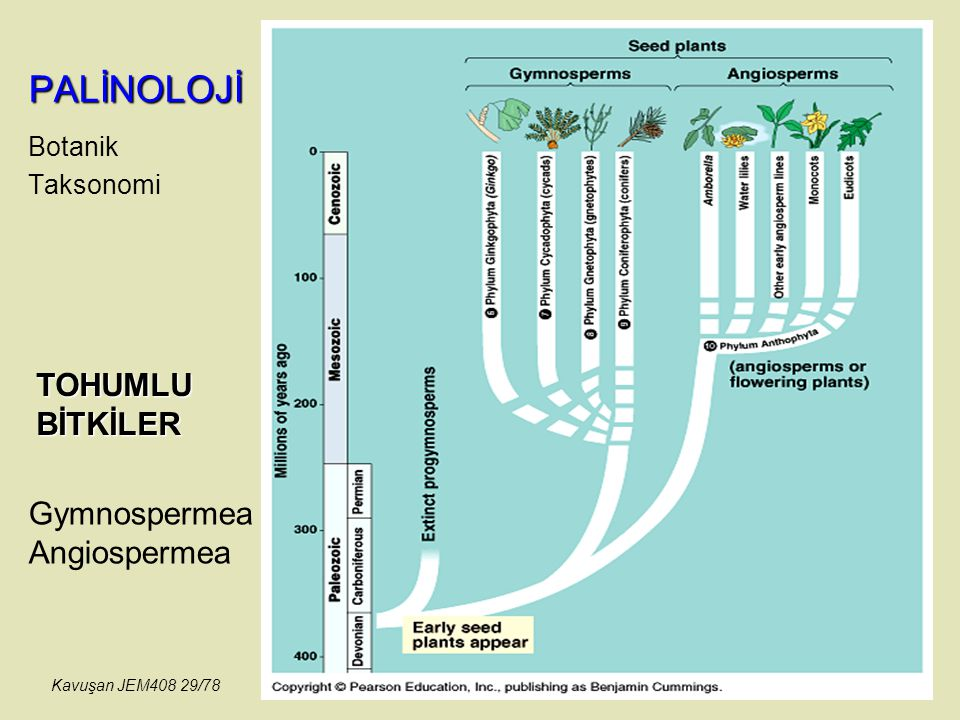 PALİNOLOJİ TOHUMLU BİTKİLER Gymnospermea Angiospermea Botanik
