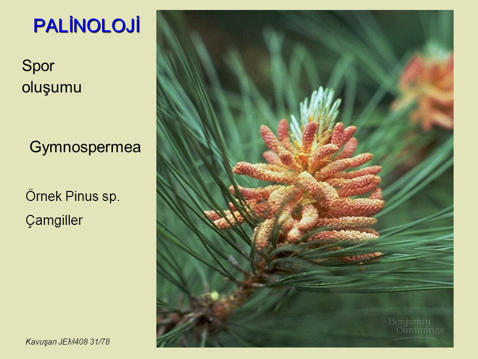 PALİNOLOJİ Spor oluşumu Gymnospermea Örnek Pinus sp. Çamgiller
